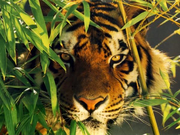 dompter-tigre