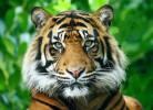 dompter-tigre-miniature